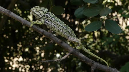 chamaeleo : male chameleon walking along the branch of a locust looking for female