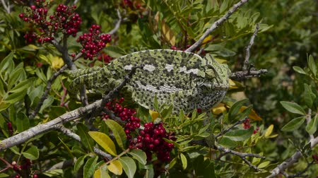 chamaeleo : male chameleon colors with zeal on branch with red berries