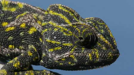 chamaeleo : female chameleon colors of irritation