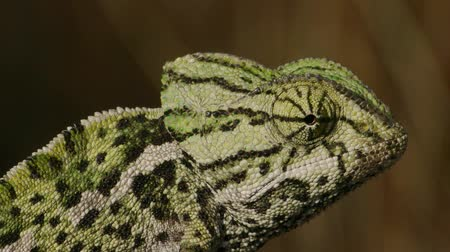 chamaeleo : Colorful chameleon with zeal Stock Footage