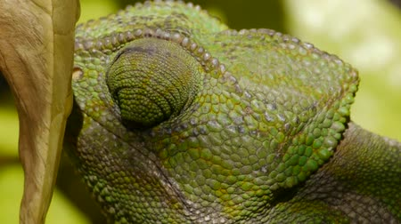 chamaeleo : closeup common chameleon