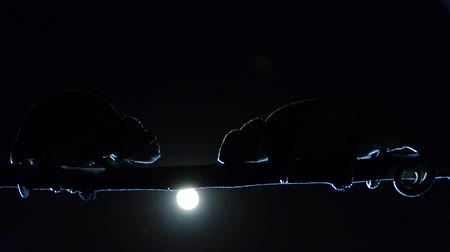 chamaeleo : two chameleons sleeping on branch with the moon behind