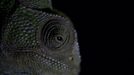 chamaeleo : closeup of chameleon head with black background Stock Footage