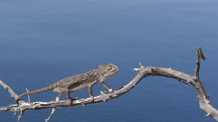 chamaeleo : chameleon hunting grasshoppers in the dry tree branch with blue sea background