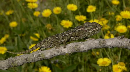 chamaeleo : Spring chameleon walking on a branch with flowers behind Stock Footage