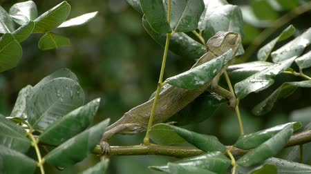 chamaeleo : chameleon among the branches of a locust raining