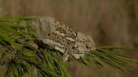 chamaeleo : common chameleon moulting on pine branch