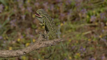 chamaeleo : small angry chameleon on branch Stock Footage