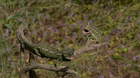 chamaeleo : Small chameleon defending their territory