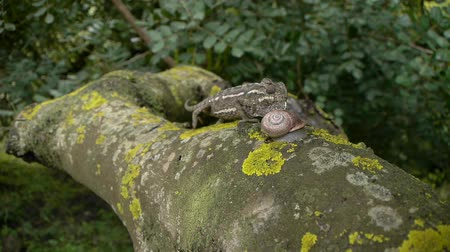 chamaeleo : chameleon walking down the thick branch of a carob tree being in the way a snail
