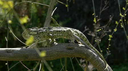 chamaeleo : chameleon walking backlit branch Stock Footage