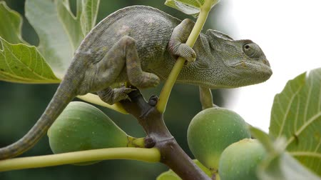 chamaeleo : female chameleon pregnant by fig branch