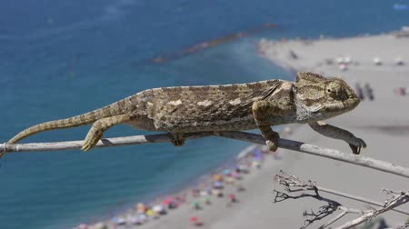 chamaeleo : chameleon bottom of a beach with people bathing Stock Footage