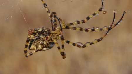 gruesome : Argiope spider in the web Stock Footage