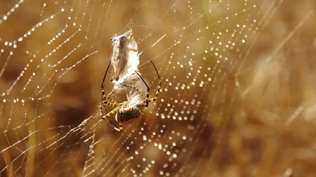 gruesome : Argiope spider on cobweb catching a grasshopper Stock Footage