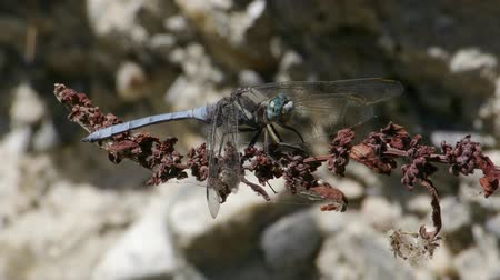 gruesome : Blue dragonfly resting on branch
