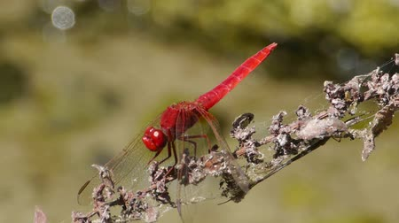 gruesome : Red dragonfly resting on branch