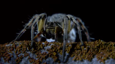 eight : Closeup of wolf spider with black background