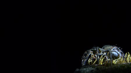 gruesome : wolf spider with black background
