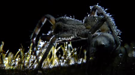 gruesome : wolf spider closeup with drops of water in your body