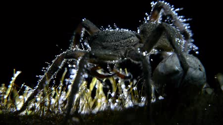 potwór : wolf spider closeup with drops of water in your body