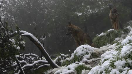 farkas : wolves in the forest snowing Stock mozgókép