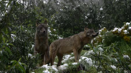 farkas : Wolf in snowing forest Stock mozgókép