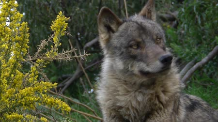 волк : wolf in spring with flowers and wet grass Стоковые видеозаписи