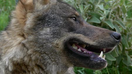 волк : Closeup of the face of the wolf Стоковые видеозаписи