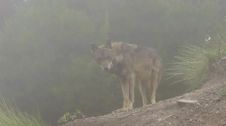 farkas : wolf in the mist
