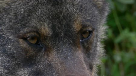 волк : Closeup of the eye of the wolf