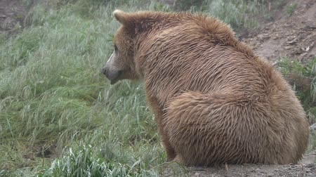 brown : brown bear on the wet grass Stock Footage