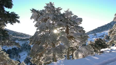 icy : Scots pine with snow at sunrise