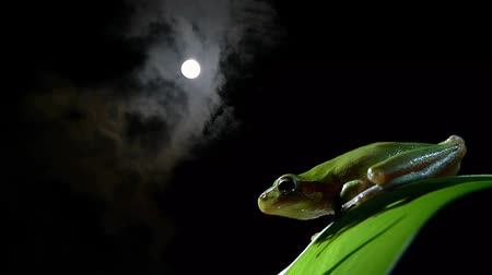 anura : Southern frog at night on green leaf with full moon and clouds behind Stock Footage