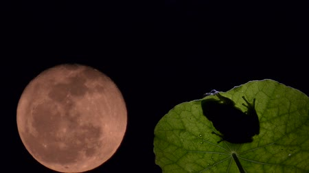 anura : timelapse, frog on leaf backlit and moon moving Stock Footage