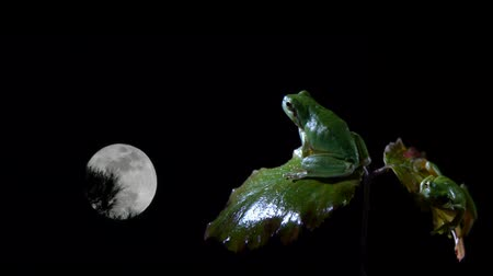 žába : Southern male and female frog on the leaves of a bush at night watching the full moon
