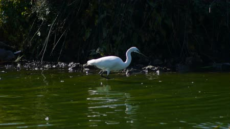 insectivorous birds : Egret in the lake green water, beside duck Stock Footage