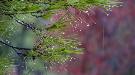 tű : It raining pine forest, and drops falling needles of Its branches Stock mozgókép
