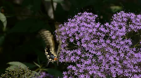hernyó : Machaon butterfly on purple flower moving