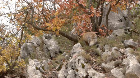 foraging behavior : Red fox, foraging Through the cracks of the rocks in the mountains