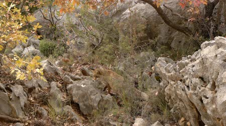foraging behavior : red fox foraging Among the rocks in an autumnal landscape