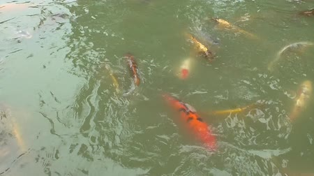 gölcük : Koi Fish in a Pond in a Japanese Pond