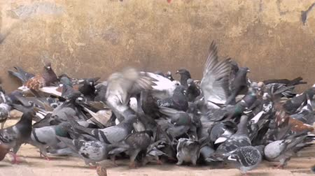 gołąbki : Crowd of Pigueons,  Doves eating. This is a city plague Wideo