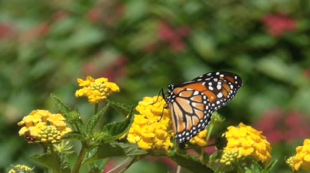 rovarok : Butterfly on yellow flowers, close up. Monarch butterfly