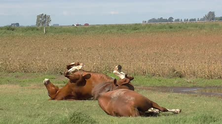 savci : Two horses playing in the grass. Horses playing and cleaning itself in the grass, fun, animals, nature