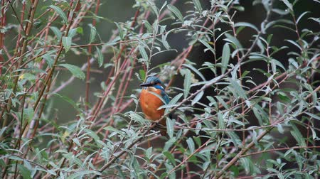 nó : Common Kingfisher (Alcedo atthis)