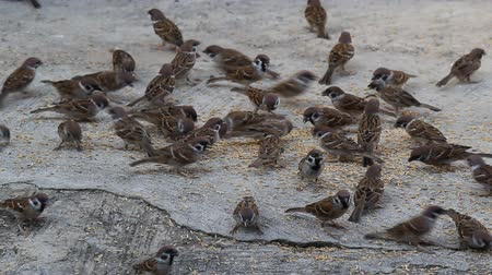 veréb : Flock of House sparrow birds ( Passer domesticus ) eating from the ground Stock mozgókép