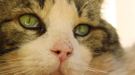 gestreept : Cat Looking Around, Close Shot Stockvideo