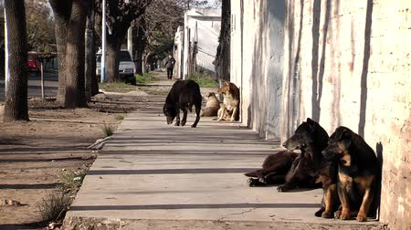 montevideo : Uruguayan Dogs looking on the Street, Montevideo Stock Footage
