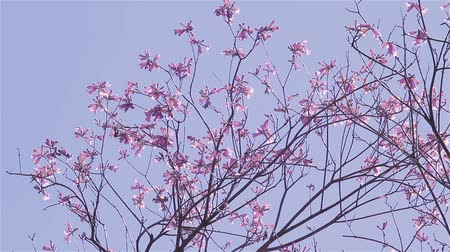 pink background : Lapacho Flower Tree In Full Bloom. Lapacho Is The National Tree Of Paraguay. Stock Footage